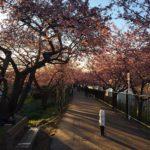 【河津桜とサーフィン】西風が強く吹いた時は伊豆がいい